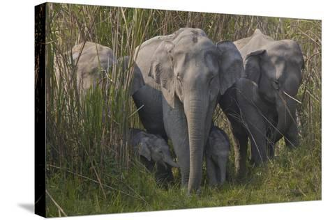 An Indian Elephant Family In Kaziranga National Park-Steve Winter-Stretched Canvas Print