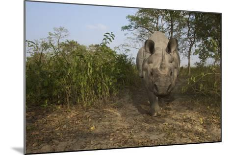 A Remote Camera Captures A One-Horned Indian Rhinoceros-Steve Winter-Mounted Photographic Print