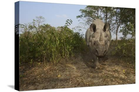A Remote Camera Captures A One-Horned Indian Rhinoceros-Steve Winter-Stretched Canvas Print