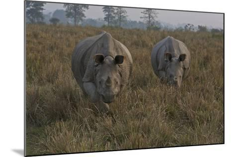 A Pair Of One-Horned Indian Rhinoceroses In Kaziranga National Park-Steve Winter-Mounted Photographic Print