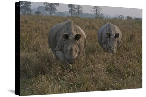 A Pair Of One-Horned Indian Rhinoceroses In Kaziranga National Park-Steve Winter-Stretched Canvas Print