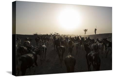 Herders Guide Their Goats Back To Haramfaf Bouri Village In The Afar Region Of Ethiopia-John Stanmeyer-Stretched Canvas Print