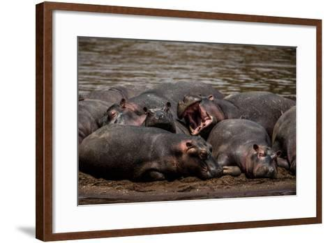 A Group Of Hippopotamuses Resting In Kenya's Masai Mara National Reserve-Beverly Joubert-Framed Art Print