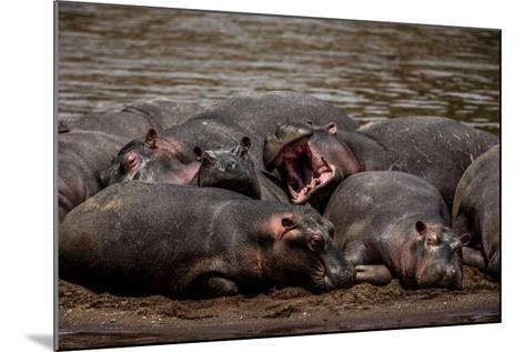 A Group Of Hippopotamuses Resting In Kenya's Masai Mara National Reserve-Beverly Joubert-Mounted Photographic Print