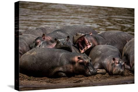 A Group Of Hippopotamuses Resting In Kenya's Masai Mara National Reserve-Beverly Joubert-Stretched Canvas Print