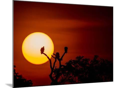 Silhouette Of Vultures Perching On A Tree Breanch At Sunset-Beverly Joubert-Mounted Photographic Print
