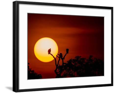 Silhouette Of Vultures Perching On A Tree Breanch At Sunset-Beverly Joubert-Framed Art Print