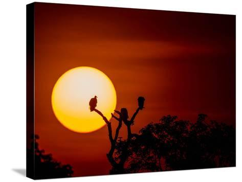 Silhouette Of Vultures Perching On A Tree Breanch At Sunset-Beverly Joubert-Stretched Canvas Print