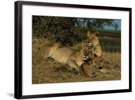 Lionesses, Panthera Leo, With Cubs Resting In Botswana's Okavango Delta-Beverly Joubert-Framed Art Print