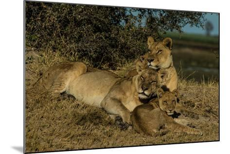 Lionesses, Panthera Leo, With Cubs Resting In Botswana's Okavango Delta-Beverly Joubert-Mounted Photographic Print