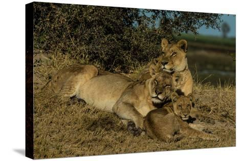 Lionesses, Panthera Leo, With Cubs Resting In Botswana's Okavango Delta-Beverly Joubert-Stretched Canvas Print