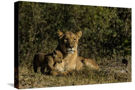 A Lioness, Panthera Leo, And Cub Resting In Botswana's Okavango Delta-Beverly Joubert-Stretched Canvas Print