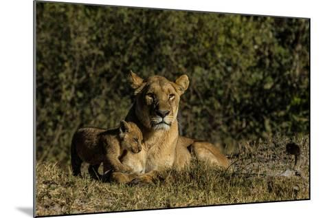 A Lioness, Panthera Leo, And Cub Resting In Botswana's Okavango Delta-Beverly Joubert-Mounted Photographic Print
