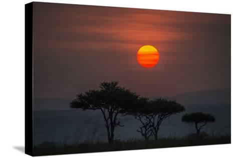 Acacia Trees Under The Setting Sun In Maasai Mara National Reserve-Andrew Coleman-Stretched Canvas Print