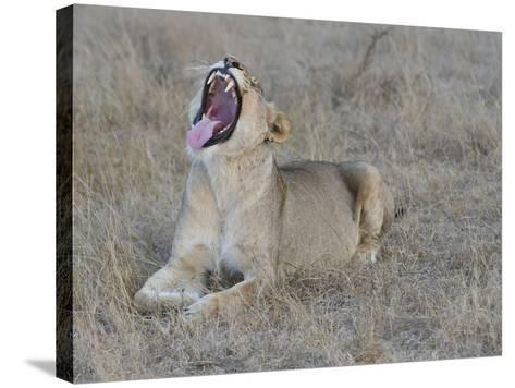 A Female Lion, Panthera Leo, Showing Teeth-Andrew Coleman-Stretched Canvas Print