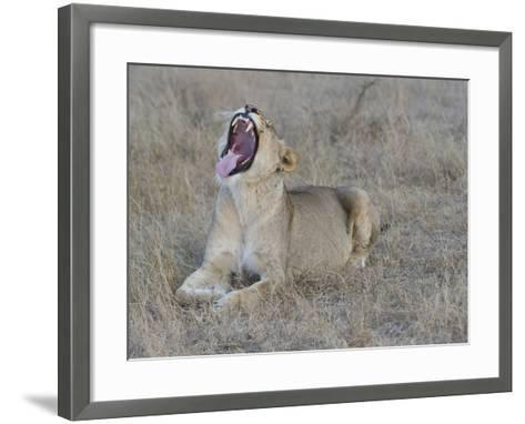 A Female Lion, Panthera Leo, Showing Teeth-Andrew Coleman-Framed Art Print