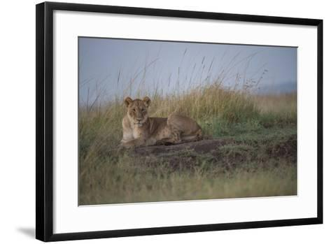 A Female Lion, Panthera Leo, Lying In The Dry Grass-Andrew Coleman-Framed Art Print