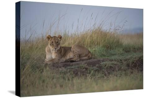 A Female Lion, Panthera Leo, Lying In The Dry Grass-Andrew Coleman-Stretched Canvas Print