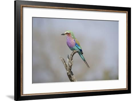 Lilac Breasted Roller, Coracias Caudatus, Perched On A Branch-Andrew Coleman-Framed Art Print