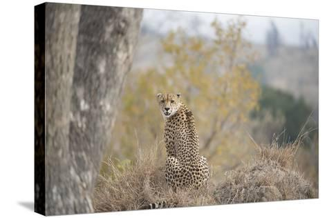 A Young Male Cheetah, Acinonyx Jubatus, Sitting In Sabi Sabi Game Reserve-Andrew Coleman-Stretched Canvas Print