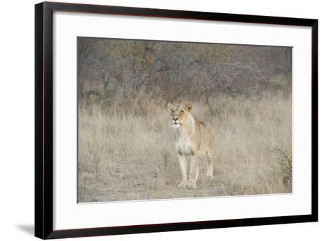 A Female Lion, Panthera Leo, Standing In The Dry Grass-Andrew Coleman-Framed Art Print