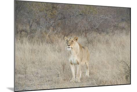 A Female Lion, Panthera Leo, Standing In The Dry Grass-Andrew Coleman-Mounted Photographic Print