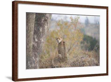 A Young Male Cheetah, Acinonyx Jubatus, Sitting In Sabi Sabi Game Reserve-Andrew Coleman-Framed Art Print