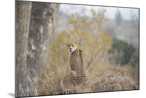 A Young Male Cheetah, Acinonyx Jubatus, Sitting In Sabi Sabi Game Reserve-Andrew Coleman-Mounted Photographic Print