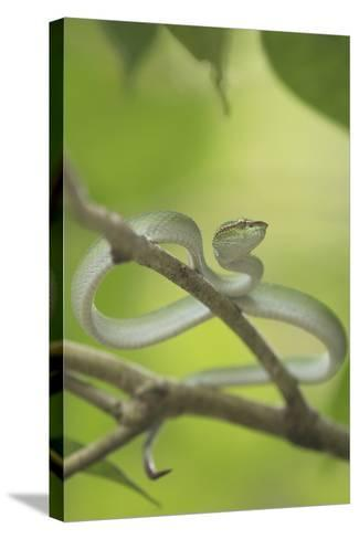 Wagler's Pit Viper Rests In A Tree In Bako National Park, On The Island Of Borneo-Jeff Mauritzen-Stretched Canvas Print