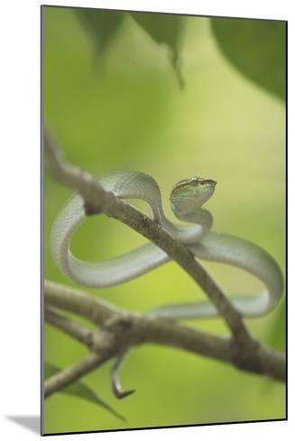Wagler's Pit Viper Rests In A Tree In Bako National Park, On The Island Of Borneo-Jeff Mauritzen-Mounted Photographic Print