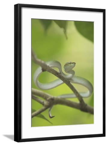 Wagler's Pit Viper Rests In A Tree In Bako National Park, On The Island Of Borneo-Jeff Mauritzen-Framed Art Print