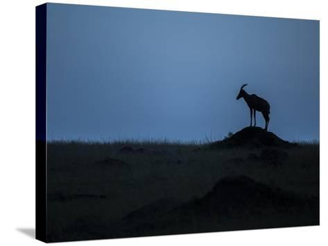 Silhouette Of An Antelope In Maasai Mara National Reserve-Andrew Coleman-Stretched Canvas Print
