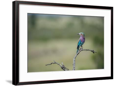 Lilac-Breasted Roller, Coracias Caudatus, Perching On A Branch-Andrew Coleman-Framed Art Print