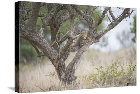A Cheetah Cub, Acinonyx Jubatus, Climbing A Tree-Andrew Coleman-Stretched Canvas Print
