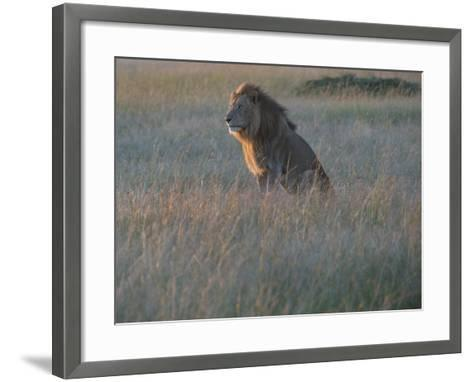 Sunlight On A Male Lion, Panthera Leo, Sitting In The Dry Grass-Andrew Coleman-Framed Art Print