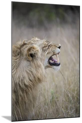 Profile Of Male Lion, Panthera Leo, Baring His Teeth-Andrew Coleman-Mounted Photographic Print