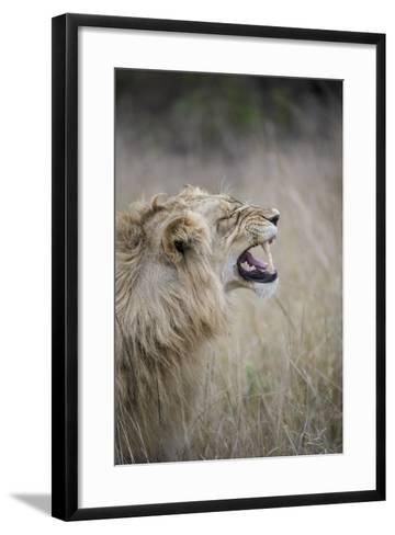 Profile Of Male Lion, Panthera Leo, Baring His Teeth-Andrew Coleman-Framed Art Print