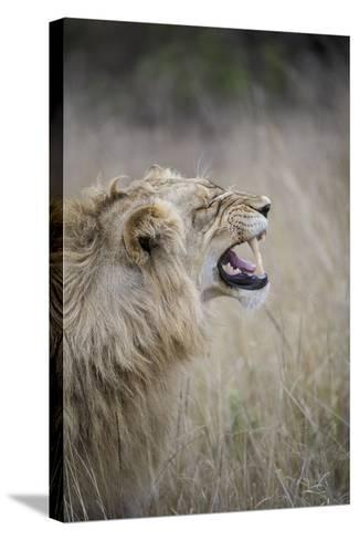 Profile Of Male Lion, Panthera Leo, Baring His Teeth-Andrew Coleman-Stretched Canvas Print