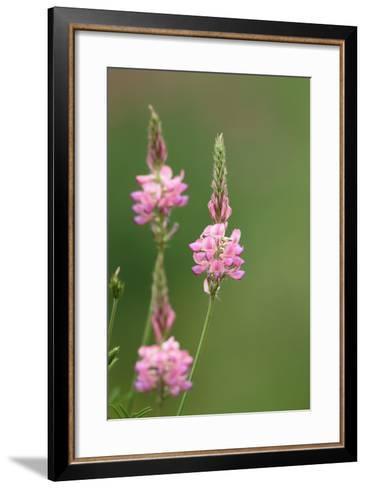 Common Sainfoin, Onobrychis Viciifolia-Jozsef Szentpeteri-Framed Art Print