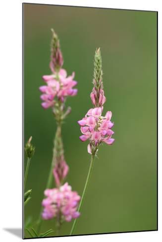 Common Sainfoin, Onobrychis Viciifolia-Jozsef Szentpeteri-Mounted Photographic Print