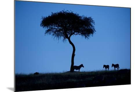 Silhouette Of Zebras, Equus Quagga, Standing By An Acacia Tree-Andrew Coleman-Mounted Photographic Print
