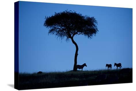 Silhouette Of Zebras, Equus Quagga, Standing By An Acacia Tree-Andrew Coleman-Stretched Canvas Print