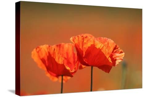 Red Poppy, Papaver Rhoeas-Jozsef Szentpeteri-Stretched Canvas Print