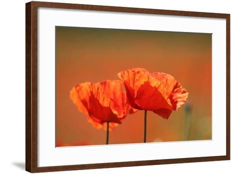 Red Poppy, Papaver Rhoeas-Jozsef Szentpeteri-Framed Art Print