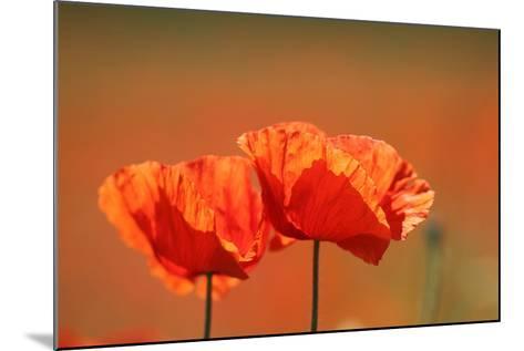 Red Poppy, Papaver Rhoeas-Jozsef Szentpeteri-Mounted Photographic Print