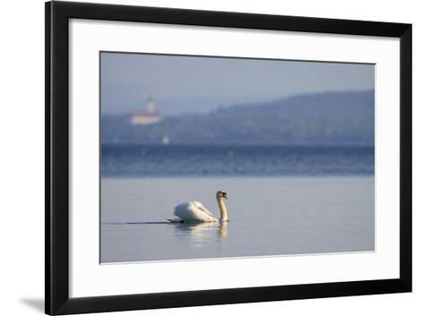 Mute Swan (Cygnus Olor) Swimming. Lake Starnberg. Upper Bavaria. Germany-Oscar Dominguez-Framed Art Print