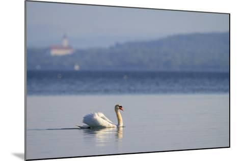 Mute Swan (Cygnus Olor) Swimming. Lake Starnberg. Upper Bavaria. Germany-Oscar Dominguez-Mounted Photographic Print