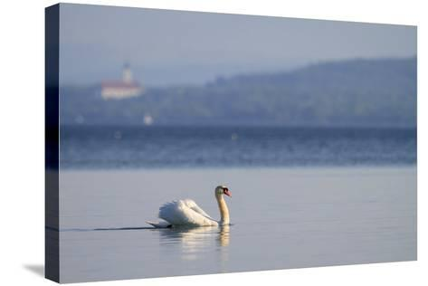 Mute Swan (Cygnus Olor) Swimming. Lake Starnberg. Upper Bavaria. Germany-Oscar Dominguez-Stretched Canvas Print