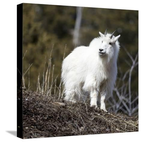 A Mountain Billy Goat Gazes Over A Ridge In The Snake River Mountains Of Wyoming-Mike Cavaroc-Stretched Canvas Print