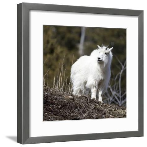 A Mountain Billy Goat Gazes Over A Ridge In The Snake River Mountains Of Wyoming-Mike Cavaroc-Framed Art Print